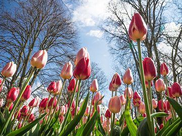 Les tulipes d'un point de vue différent sur