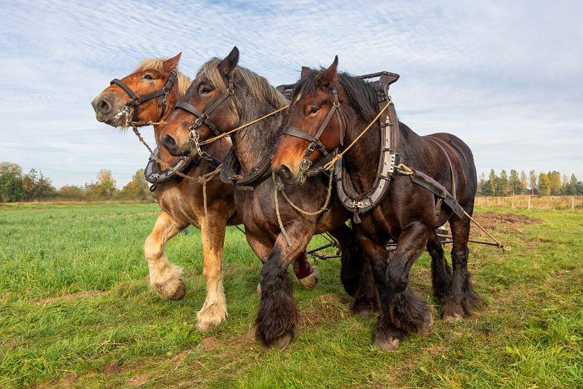 Werkpaarden driespan van Bram van Broekhoven