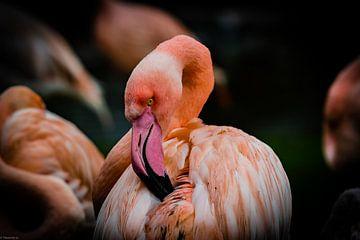 My Pretty Flamingo van Arjen Uijttenboogaart