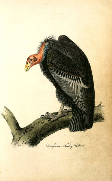 Californian Turkey Vulture., Audubon, John James, 1785-1851, Californië De Gier van Turkije van Liszt Collection
