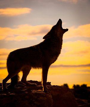 LPH 71126315 Wolf huilt bij zonsondergang, Californië van BeeldigBeeld Food & Lifestyle