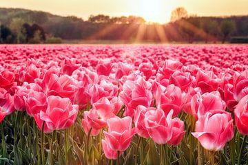 Zonnestralen boven tulpenveld von