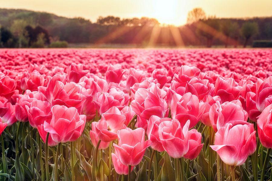 Zonnestralen boven tulpenveld