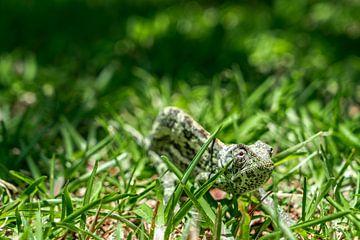 Kameleon von Steven Groothuismink