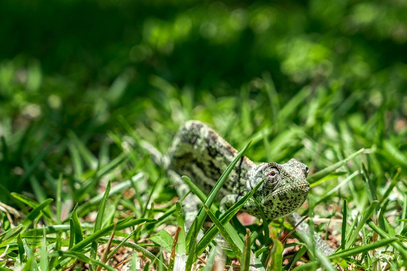 Kameleon van Steven Groothuismink