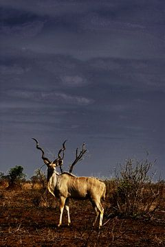 Eenzame kudu in de zon met donkere lucht van
