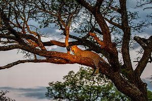 Leopard (Panthera pardus) auf einem Baumast im späten Abendlicht liegend