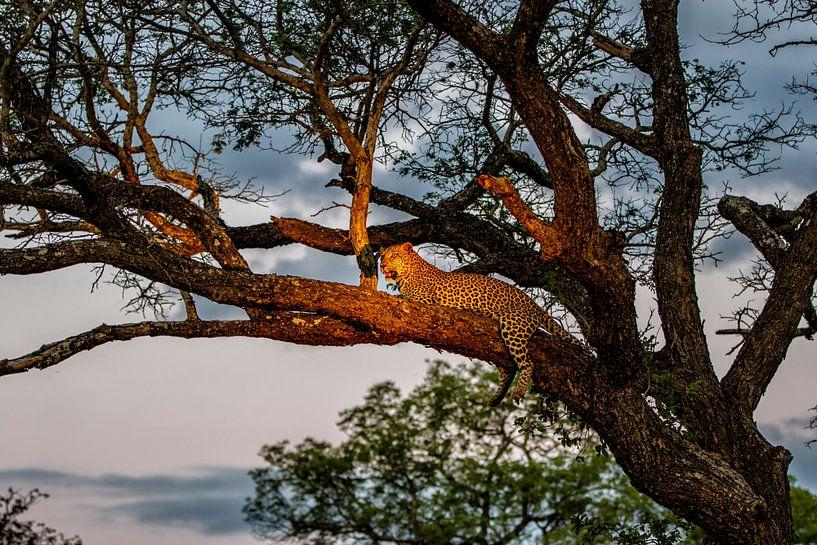 Leopard (Panthera pardus) auf einem Baumast im späten Abendlicht liegend von Nature in Stock
