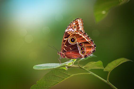 Blauwe Morpho Vlinder van Tim Abeln
