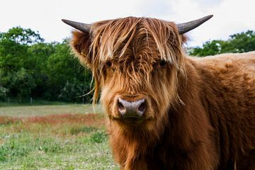 Schotse hooglander koe van Rick Van der bijl