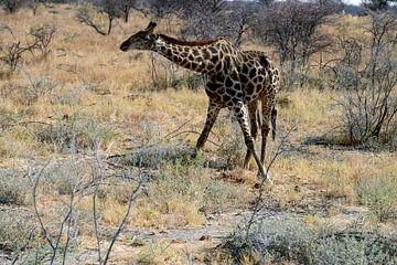 Giraffe mit gespreizten Beinen. von Merijn Loch