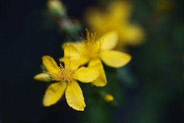 Abstracte macro-opname van meeldraden in de gele bloem van Hypericum perforatum (St. Janskruid), een
