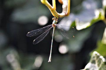 Libelle aan tak van David van Coowijk