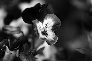 Viool in zwart/wit
