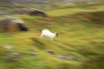 Laufendes Schaf ICM von Licht! Fotografie