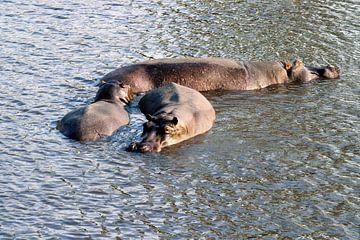 Nijlpaard in de Chobe rivier in Botswana van Merijn Loch