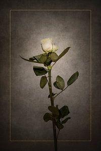 Elegante weiße Rose   Vintage-Stil gold