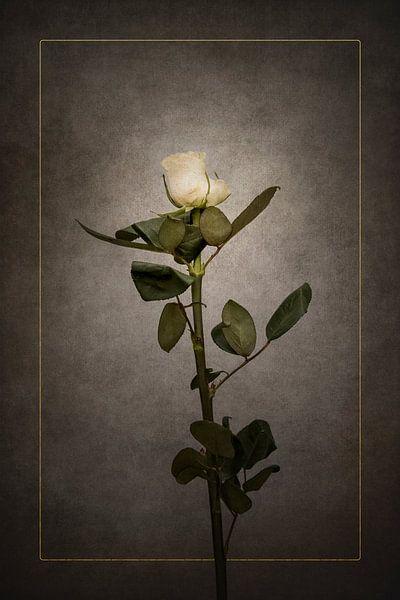 Elegante weiße Rose   Vintage-Stil gold von Melanie Viola