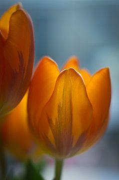 Tulp sur Cees van Miert