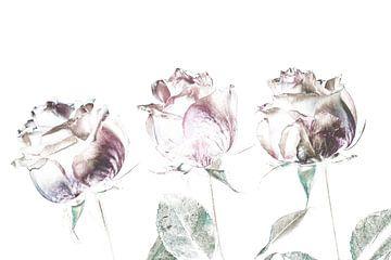 drei Rosen, ein Zeichen des Lebens und der Liebe von Studio de Waay