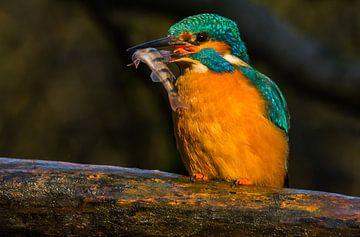 IJsvogel met visje sur Conny Veenhuis-Lucas