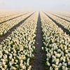 hyacinten in mist  van Arjan van Duijvenboden thumbnail