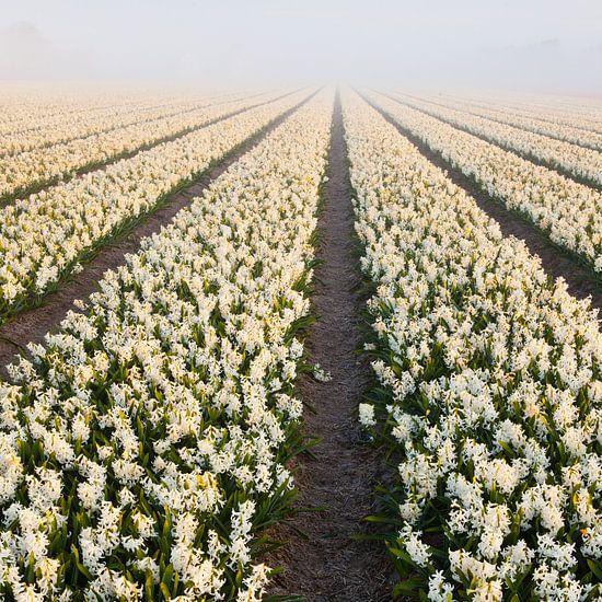 hyacinten in mist  van Arjan van Duijvenboden