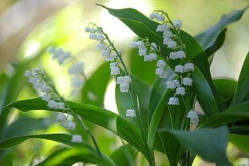 De lelietje-van-dalen ruiken in de tuinen van