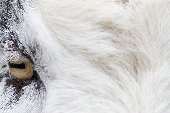 Portret van een geit in Oosterhesselen