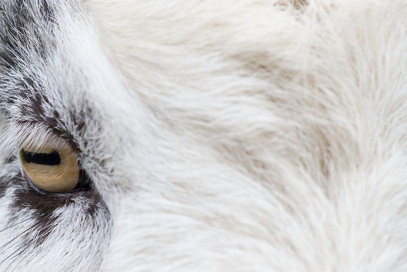 Portret van een geit in Oosterhesselen van Ronald Jansen