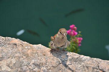 Vogel Sirmione, Italië van Thomas Bellens