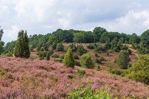 Heidelandschaft mit Heiedeblüte, Totengrund, Wilsede, Naturpark Lüneburger Heide, Niedersachsen, Deu von Torsten Krüger