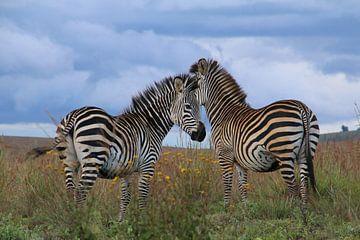 Afrikanisches Zebra von Geert Neukermans