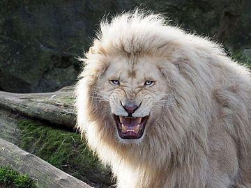 Ein aggressiv aussehende weiße Löwe von Edwin Butter