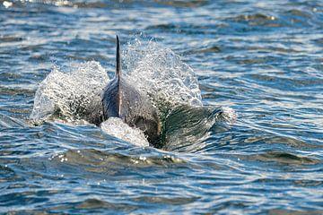 Dolfijn van Kees Ham