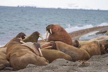 die Stoßzähne der Walrosse gemeinsam am Strand von Merijn Loch
