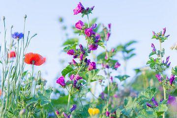 Wilde Sommerblumen 11 von FotoDennis.com