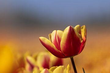 Bijna uitgebloeide rood met gele tulp van Miranda Heemskerk