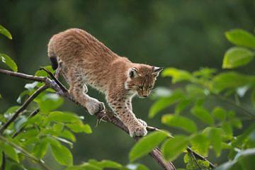 Luchs, Eurasischer Luchs (Lynx lynx), junger Luchs klettert gekonnt über einen dünnen Ast, trainiert von wunderbare Erde