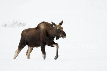Elch ( Alces alces ) im Winter, läuft durch hohen Schnee von wunderbare Erde