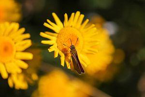 Mattscheckiger Braun-Dickkopffalter auf einer gelben Blüte