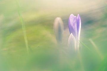 Dromerige paarse krokus in bloei van Fotografiecor .nl