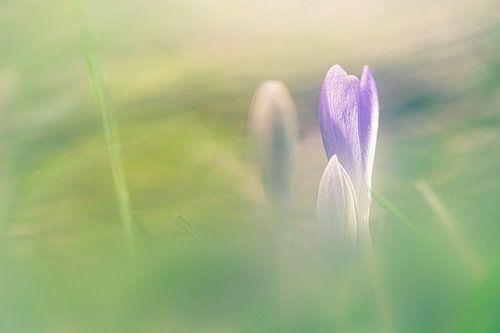 Dromerige paarse krokus in bloei