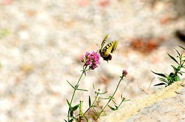 Vlinder in Italië von Nicole de Leest