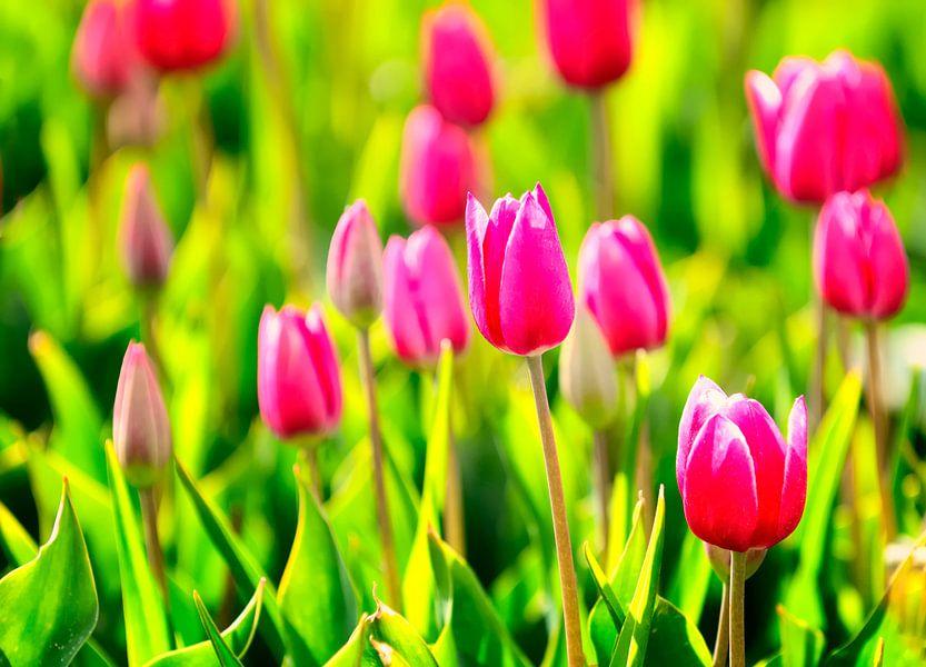 Paarse tulpen van Sjoerd van der Wal