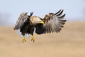 Seeadler ( Haliaeetus albicilla ) im Flug, jagend, hält Ausschau nach Beute, frontaler Anflug, kraft