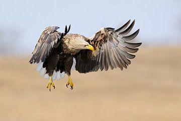 Seeadler ( Haliaeetus albicilla ) im Flug, jagend, hält Ausschau nach Beute, frontaler Anflug, kraft von wunderbare Erde