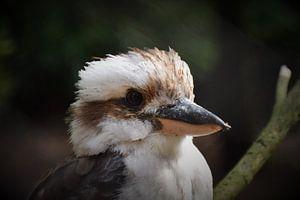 Australische Kookaburra van