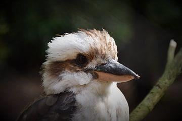 Australische Kookaburra van Tessa Mulder