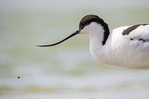 Vogel | Kluut en druppel van